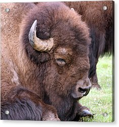 American Bison - Buffalo - 0012 Acrylic Print by S and S Photo