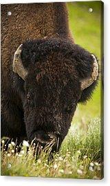 American Bison Acrylic Print by Chad Davis