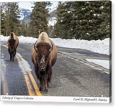 American Bison In Yellowstone National Park Acrylic Print by Carol M Highsmith
