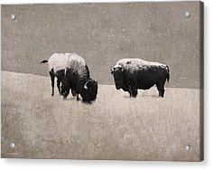 American Bison Acrylic Print by Ron Jones