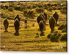 American Bison Sunset March Acrylic Print by Adam Jewell