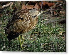 Acrylic Print featuring the photograph American Bittern by Douglas Stucky
