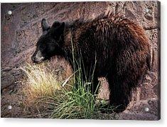 American Black Bear Cub Acrylic Print by Elaine Malott