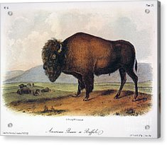 American Buffalo, 1846 Acrylic Print by Granger