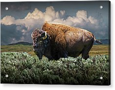 American Buffalo Bison In Yellowstone National Park Acrylic Print by Randall Nyhof