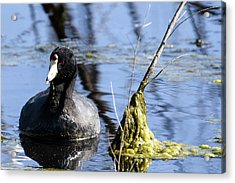 American Coot Acrylic Print
