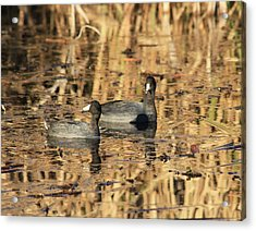 Acrylic Print featuring the photograph American Coots by Jerry Battle