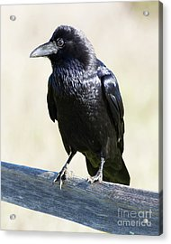 Acrylic Print featuring the photograph American Crow At Point Reyes National Seashore California 5dimg9286 by Wingsdomain Art and Photography