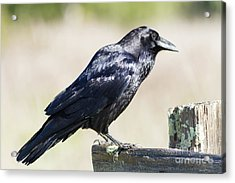 Acrylic Print featuring the photograph American Crow At Point Reyes National Seashore California 5dimg9299 by Wingsdomain Art and Photography