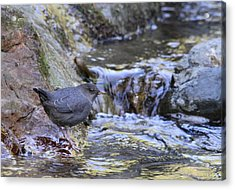 American Dipper Acrylic Print by Angie Vogel
