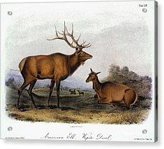 American Elk, 1846 Acrylic Print by Granger