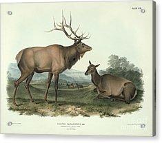 American Elk Acrylic Print by John James Audubon