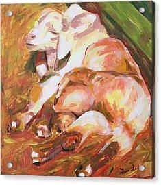 American Farm Sleepy Goats Acrylic Print