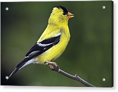 Acrylic Print featuring the photograph American Golden Finch by William Lee