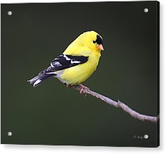 Acrylic Print featuring the photograph American Goldfinch by Gerry Sibell