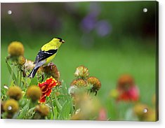 Acrylic Print featuring the photograph American Goldfinch by Juergen Roth