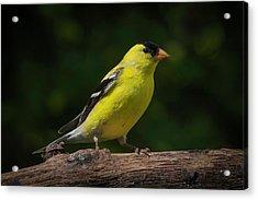 American Goldfinch Male Acrylic Print