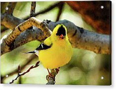 American Goldfinch On Aspen Acrylic Print