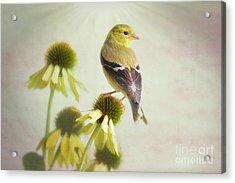 American Goldfinch On Coneflower Acrylic Print