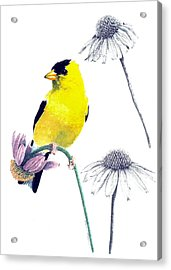 American Goldfinch On Coneflowers Acrylic Print