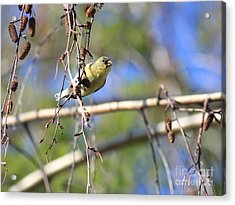 American Goldfinch Acrylic Print by Wingsdomain Art and Photography