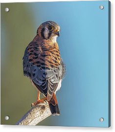 Acrylic Print featuring the photograph American Kestrel 3 by Angie Vogel