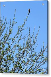 American Kestrel Atop Pecan Tree Acrylic Print