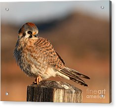 American Kestrel Giving Hunting Stare Acrylic Print by Max Allen
