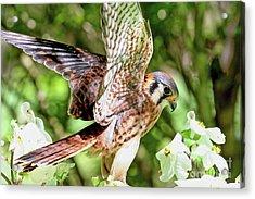 American Kestrel Hawk Acrylic Print
