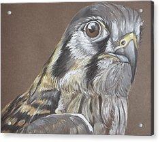 American Kestrel Acrylic Print