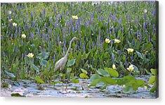 American Lotus - Great Egret Acrylic Print