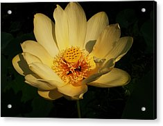 American Lotus Acrylic Print by Ron Kruger