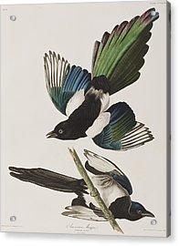American Magpie Acrylic Print by John James Audubon
