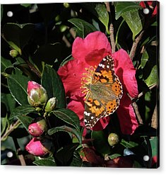 American Painted Lady On Camelia Acrylic Print