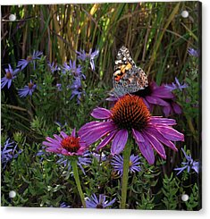 American Painted Lady On Cone Flower Acrylic Print