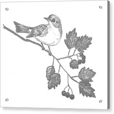 American Redstart Acrylic Print