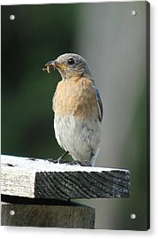 American Robin Acrylic Print by Charles and Melisa Morrison