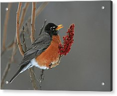 American Robin On Sumac Acrylic Print