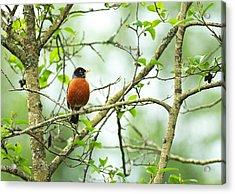 American Robin On Tree Branch Acrylic Print