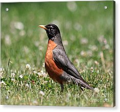 American Robin Acrylic Print by Wingsdomain Art and Photography