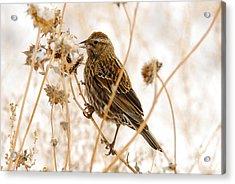 American Sparrow Acrylic Print by Dennis Hammer