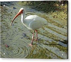 American White Ibis Acrylic Print