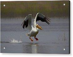 American White Pelican Da 4 Acrylic Print by Ernie Echols