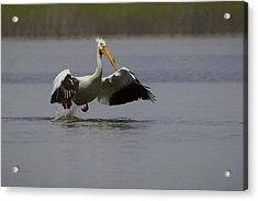 American White Pelican Da Acrylic Print by Ernie Echols