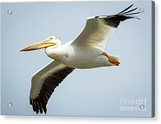 Acrylic Print featuring the photograph  American White Pelican Flyby  by Ricky L Jones