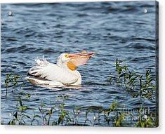 American White Pelican Male Acrylic Print by Robert Frederick