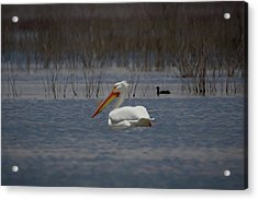 American White Pelican Searching Da Acrylic Print by Ernie Echols