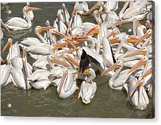 American White Pelicans Acrylic Print by Eunice Gibb