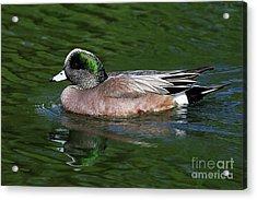 American Wigeon Anas Americana Duck Acrylic Print