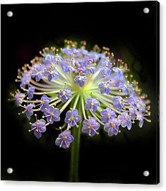 Amethyst Allium Acrylic Print by Jessica Jenney